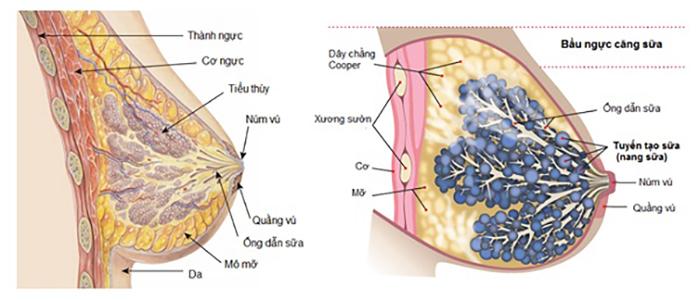 Cấu tạo bầu ngực trước khi nâng ngực nội soi