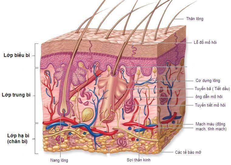 Sơ lược về cấu tạo của làn da