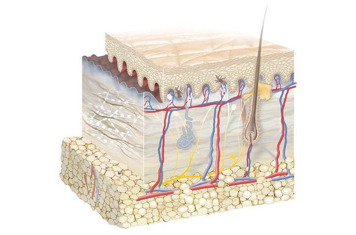 cấu tạo của da mặt - hình 1