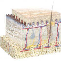 Bạn biết gì về cấu tạo của da mặt?