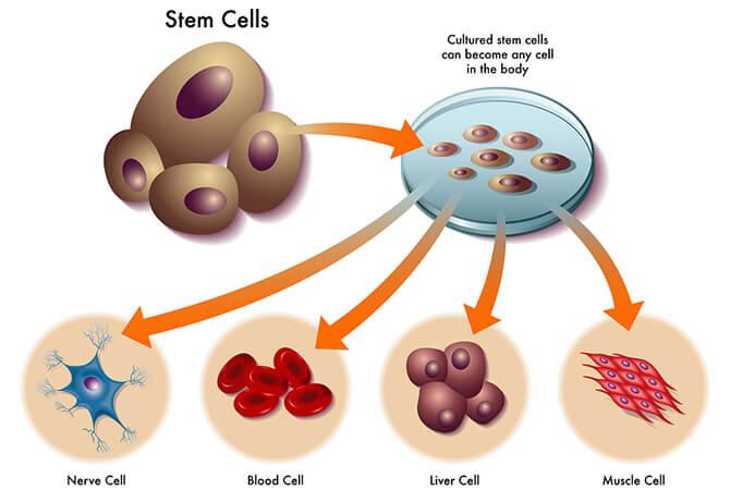 Cấy tế bào gốc là gì, có tác dụng như thế nào-hình 2